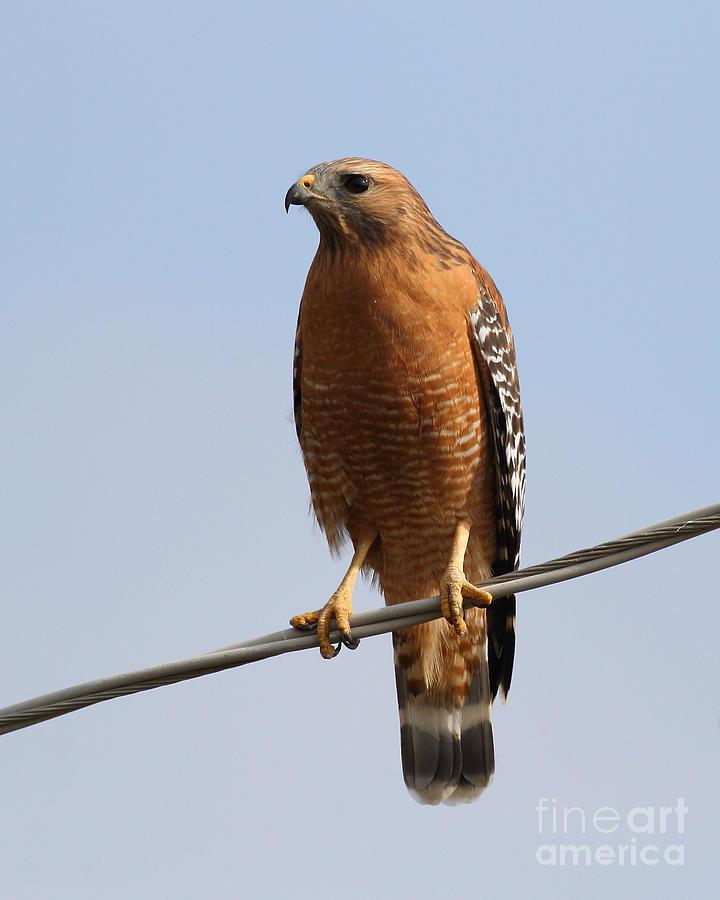 Red-shouldered Hawk . 7d10246 Photograph