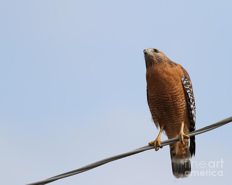 Red-shouldered Hawk . 7d10252 Photograph