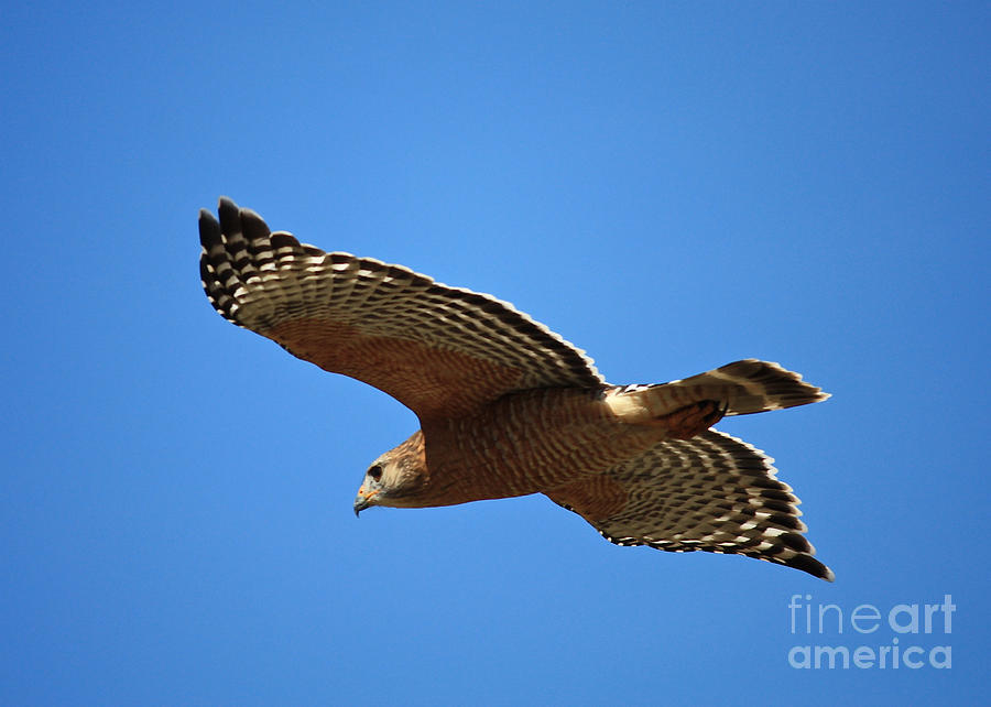 Red Shouldered Hawk In Flight Photograph  - Red Shouldered Hawk In Flight Fine Art Print