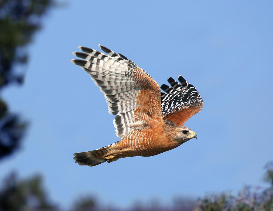 Red Shouldered Hawk Photograph  - Red Shouldered Hawk Fine Art Print