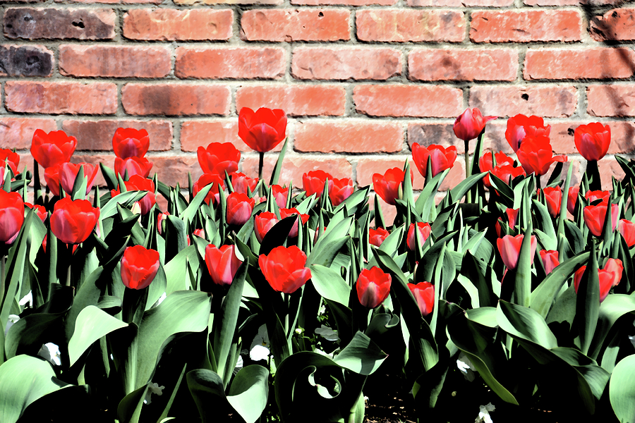 Red Spring Tulips 2 Mixed Media