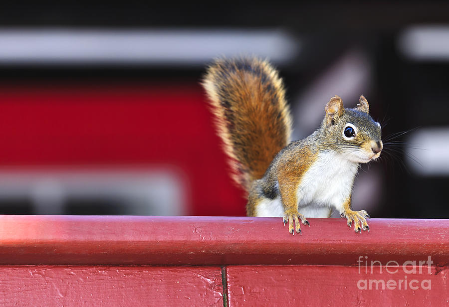 Red Squirrel On Railing Photograph  - Red Squirrel On Railing Fine Art Print