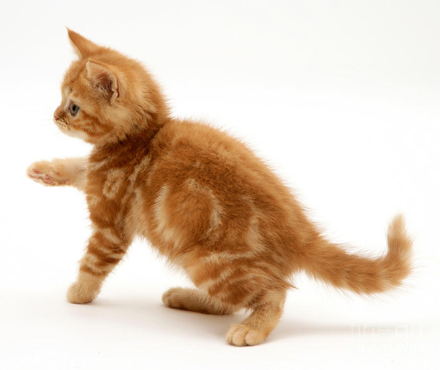 Red Tabby Kitten Photograph