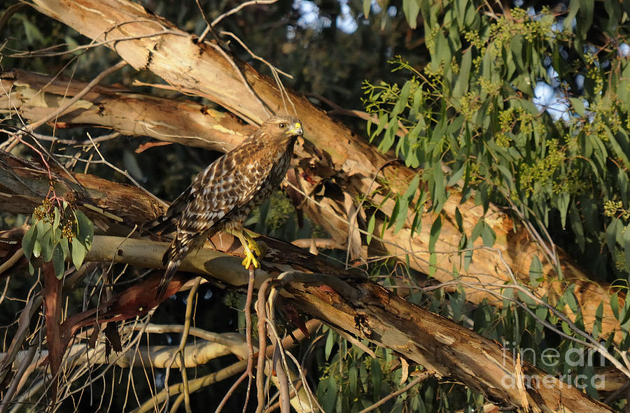 Red Tail Hawk Camouflage Photograph