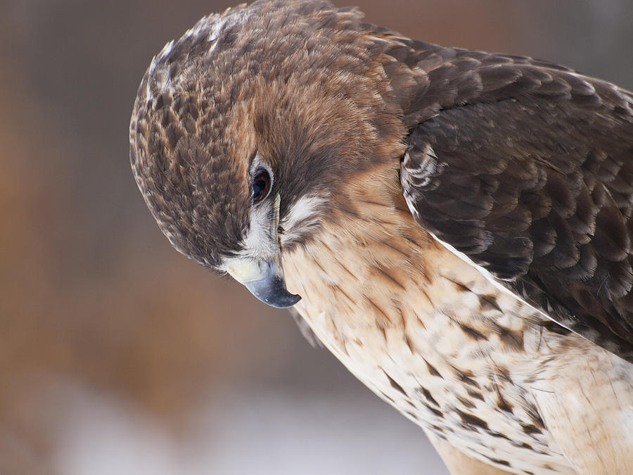 Red Tail Hawk Photograph