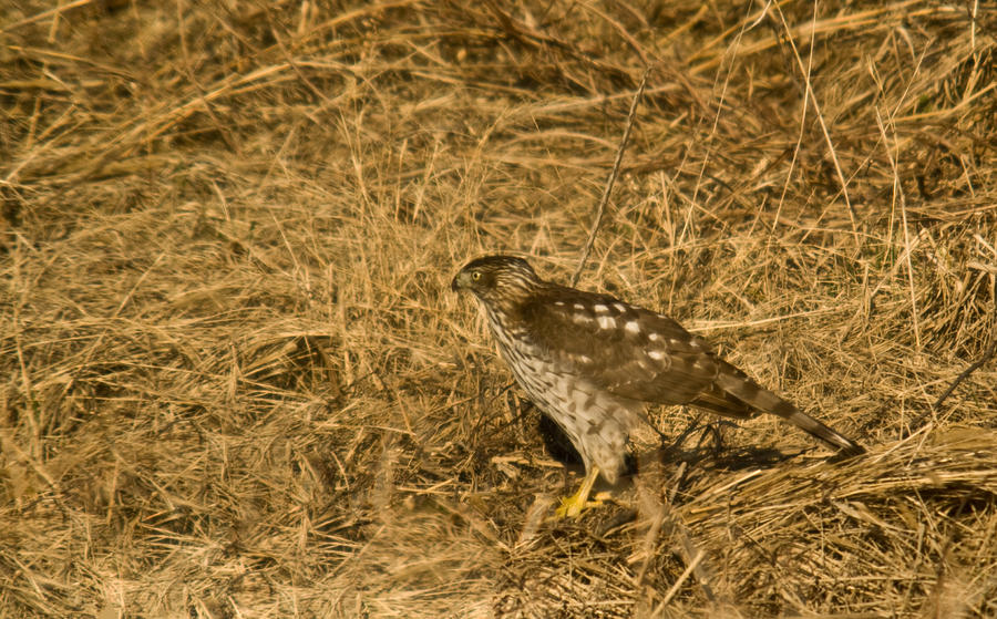 Red Tail Hawk Walking Photograph