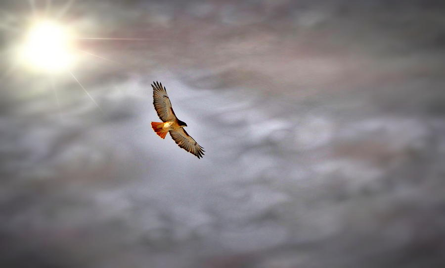 Red Tail Soar Photograph  - Red Tail Soar Fine Art Print