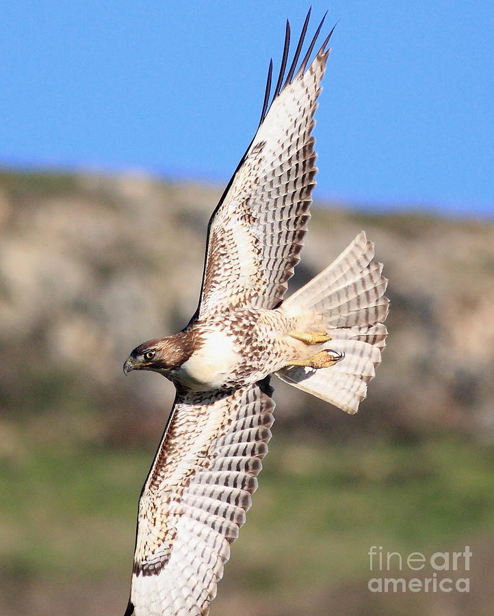 Red Tailed Hawk - 20100101-8 Photograph