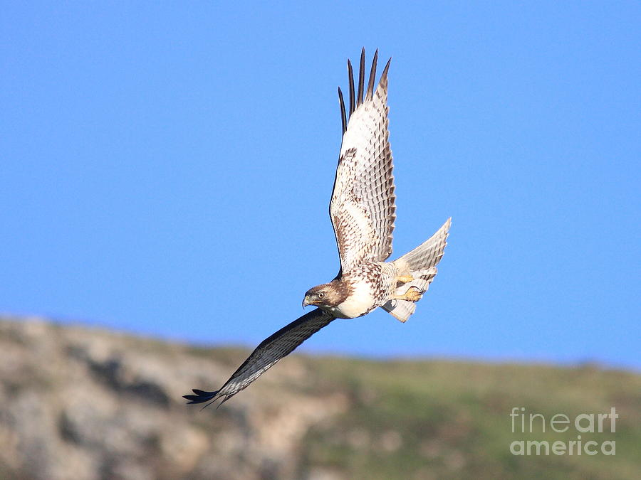 Red Tailed Hawk 20100101-6 Photograph