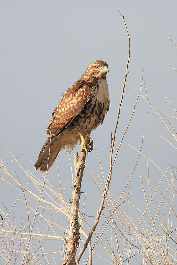 Red-tailed Hawk . 40d11323 Photograph