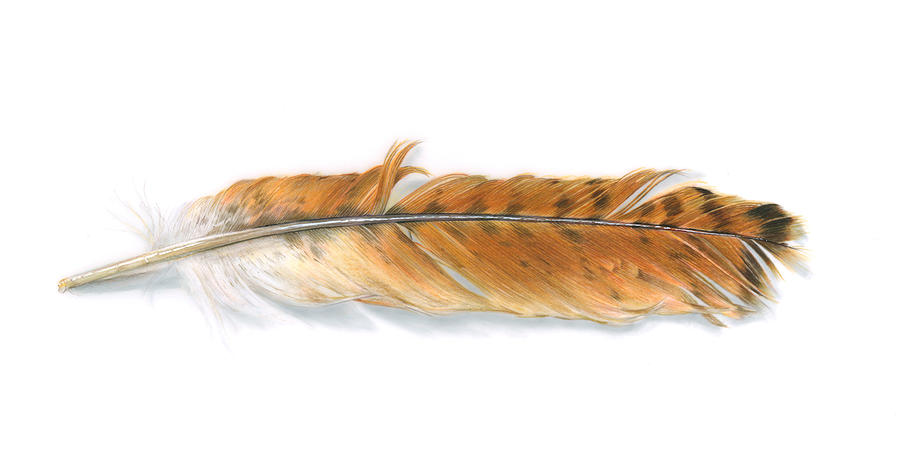 Red-tailed Hawk Feather Painting  - Red-tailed Hawk Feather Fine Art Print