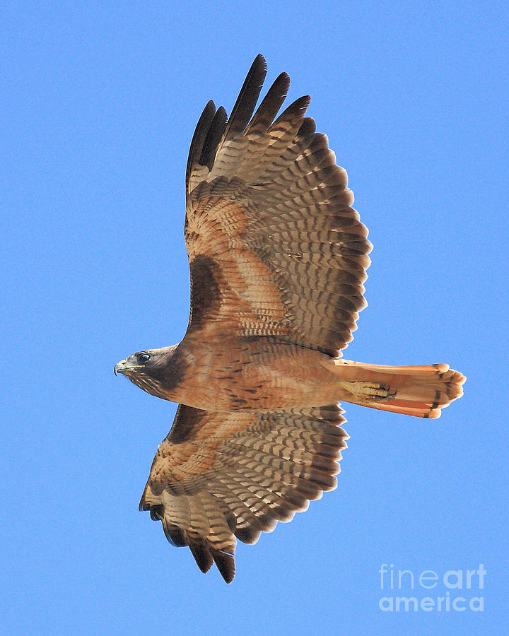 Red Tailed Hawk In Flight 2 Photograph  - Red Tailed Hawk In Flight 2 Fine Art Print