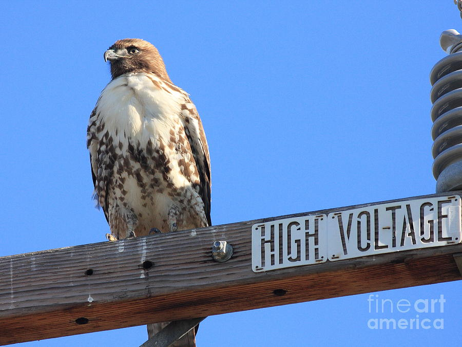 Red Tailed Hawk On High Voltage Photograph