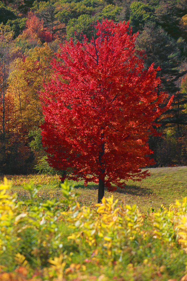 Red Tree Photograph