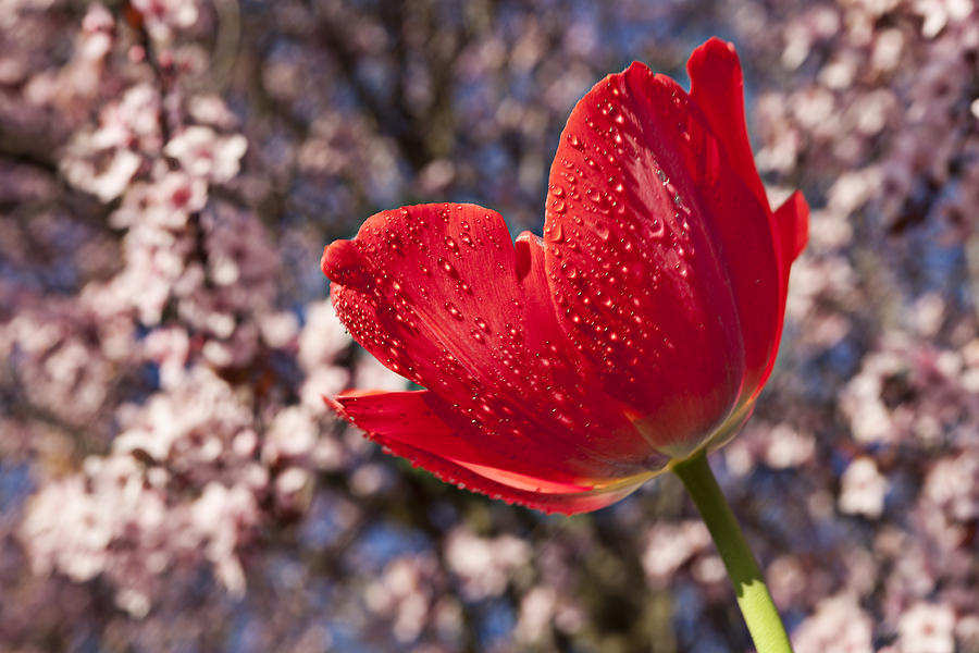 Red Tulip Against Cherry Tree Photograph  - Red Tulip Against Cherry Tree Fine Art Print