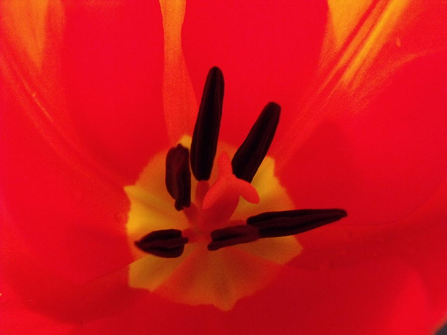 Red Tulip II Photograph  - Red Tulip II Fine Art Print