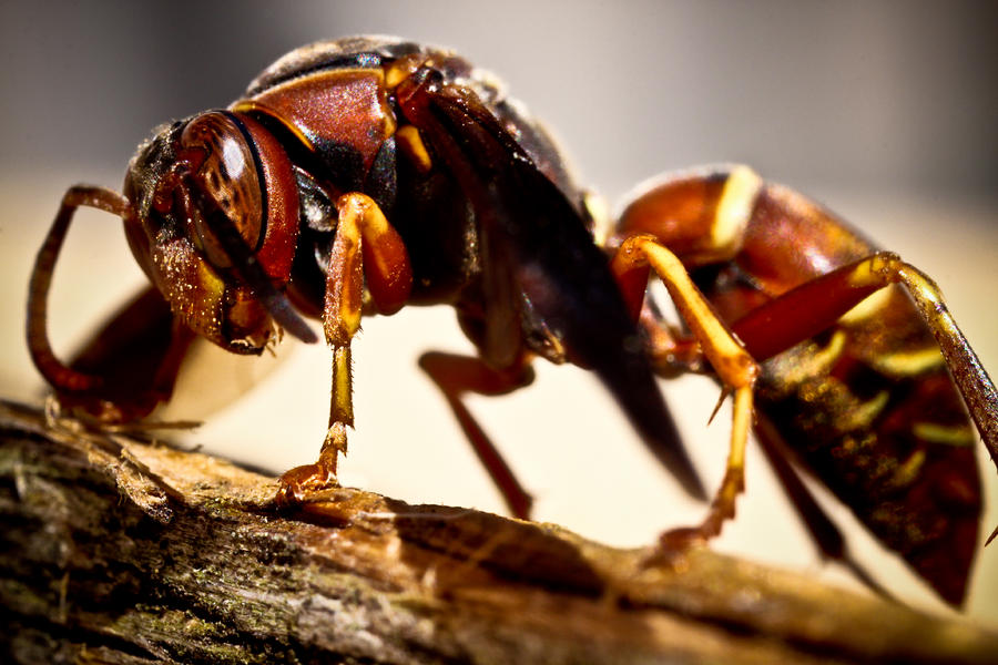 Red Wasp Photograph
