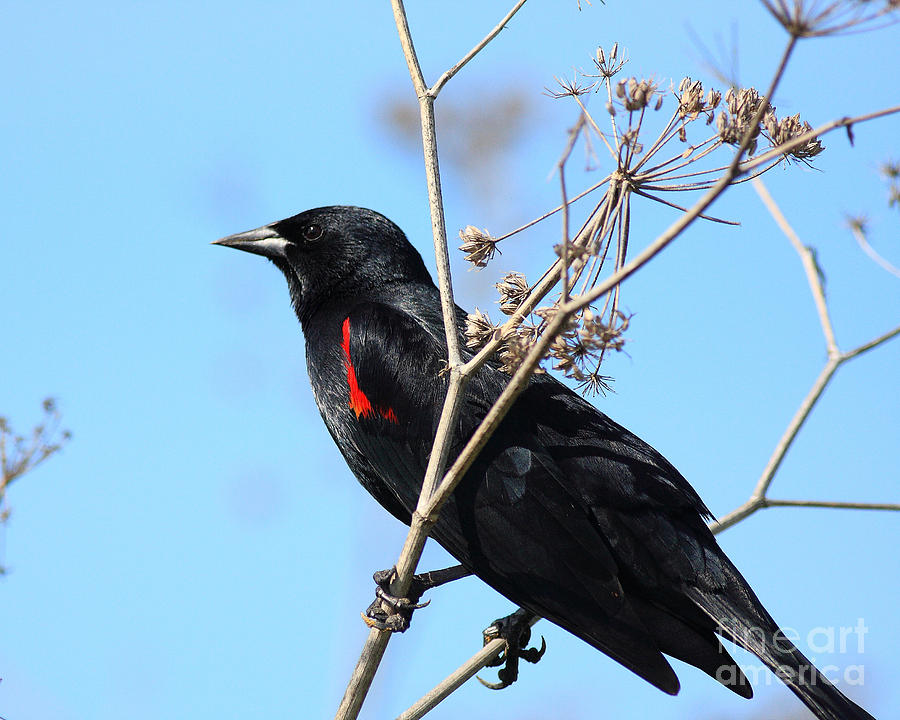 Red-winged Blackbird . 40d5718 Photograph  - Red-winged Blackbird . 40d5718 Fine Art Print
