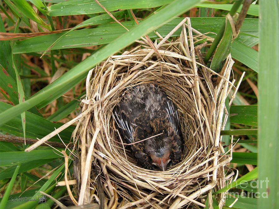 Red-winged Blackbird Baby In Nest Photograph