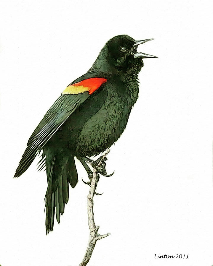 how to catch a redwing blackbird