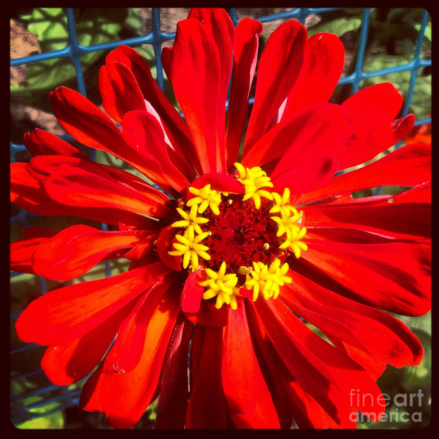 Red Zinnia Photograph  - Red Zinnia Fine Art Print