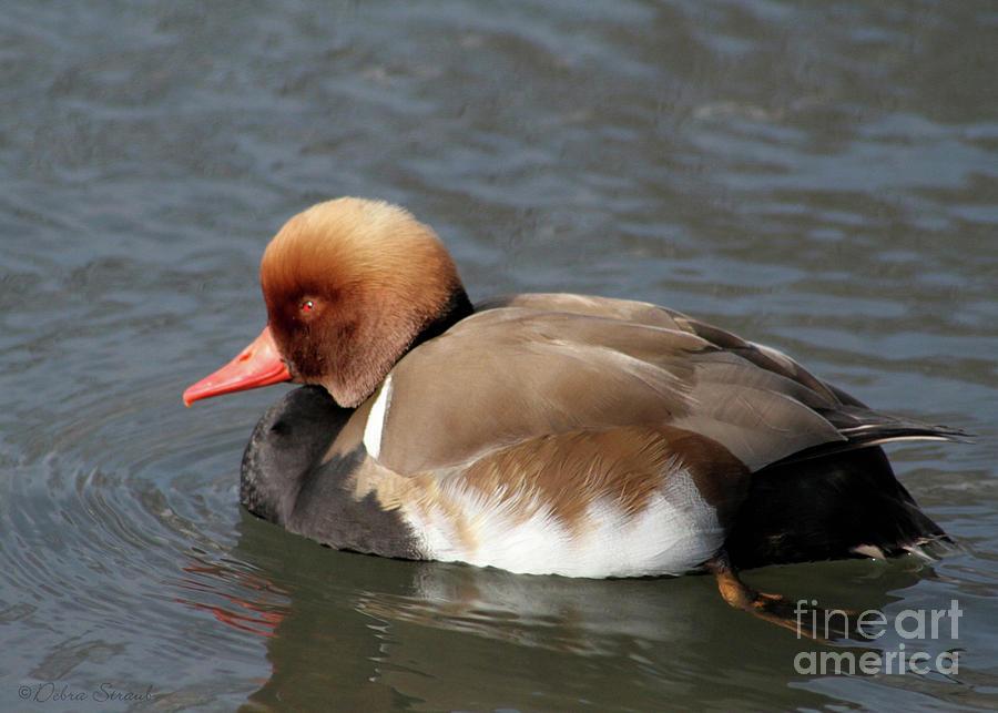 ~ Red-headed Duck Photograph - Redhead by Debra Straub