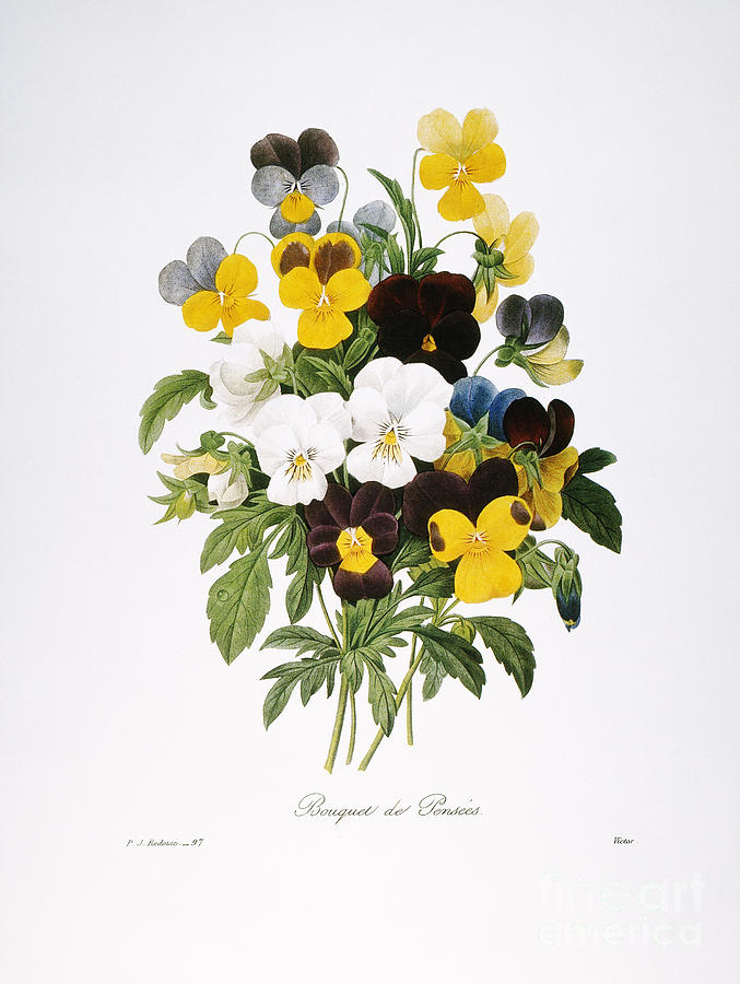 Redoute: Pansy, 1833 Photograph