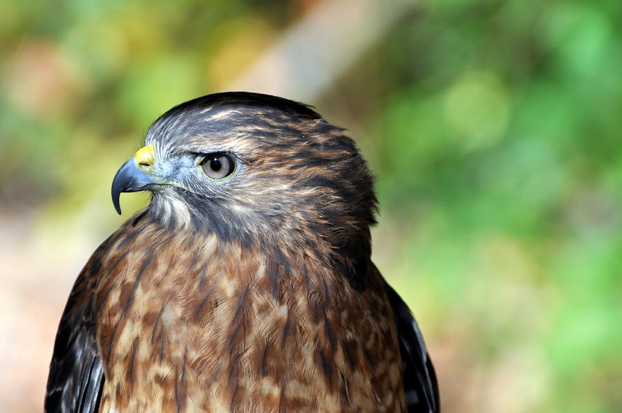Redtail Photograph