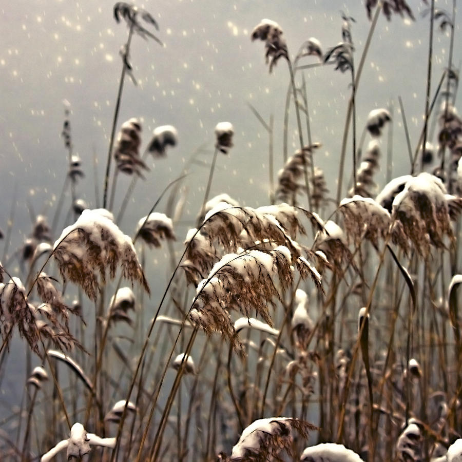 Reed In Snow Photograph  - Reed In Snow Fine Art Print