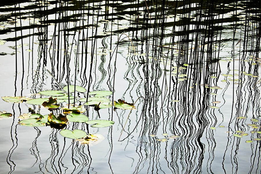 Reeds And Reflections Photograph  - Reeds And Reflections Fine Art Print
