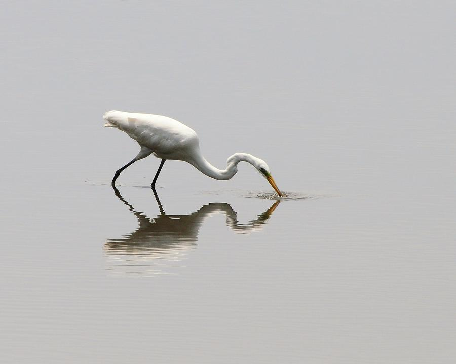Reflecting Egret Photograph  - Reflecting Egret Fine Art Print