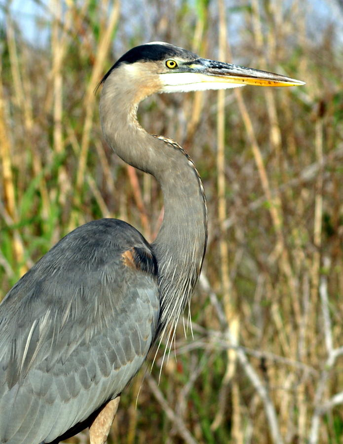 Regal Heron Photograph