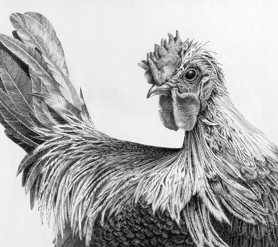 How To Draw Fighting Rooster