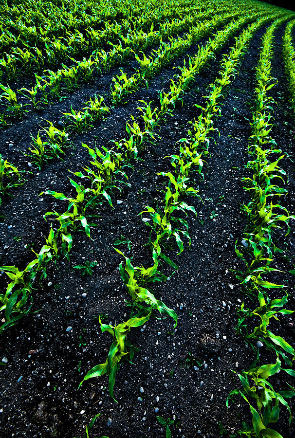 Regimented Corn Photograph