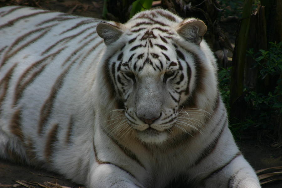 Tiger Photograph - Relax 2 by Stephanie Hopkins