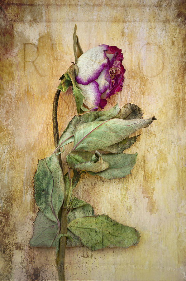 Rose Photograph - Remembrance by Marion Galt