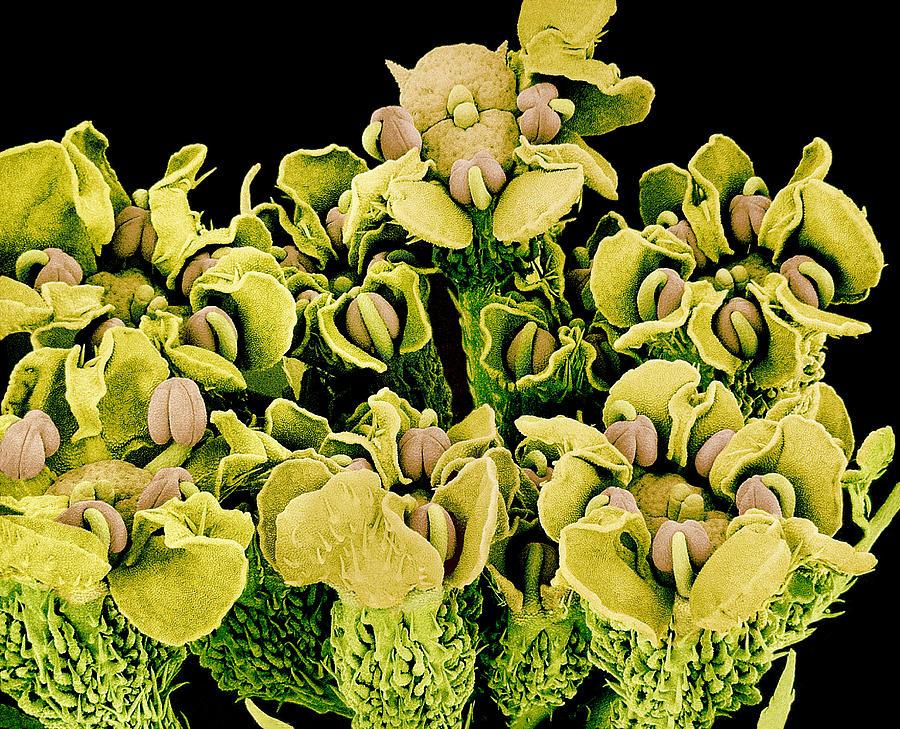Reproductive Flower Parts, Sem Photograph