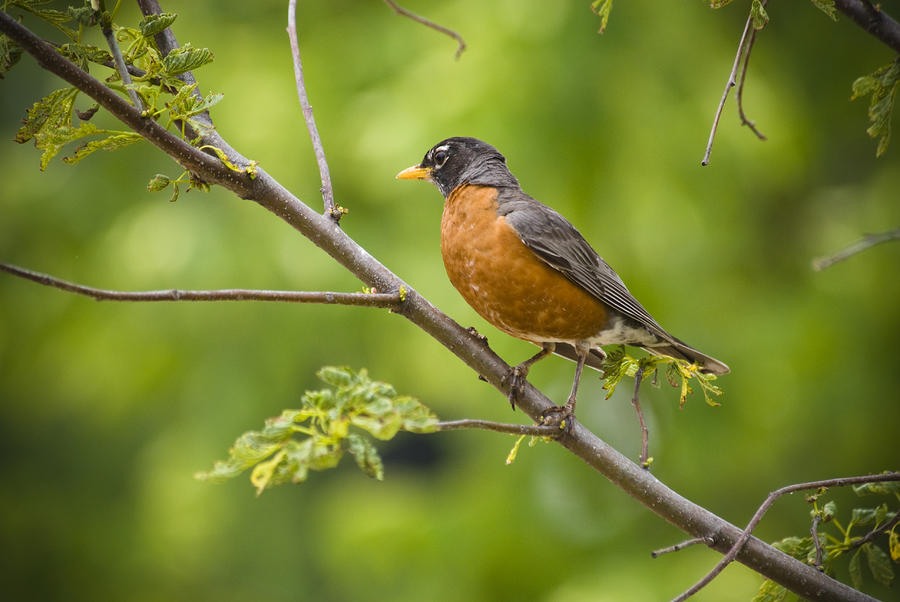 Resting American Robin Photograph  - Resting American Robin Fine Art Print