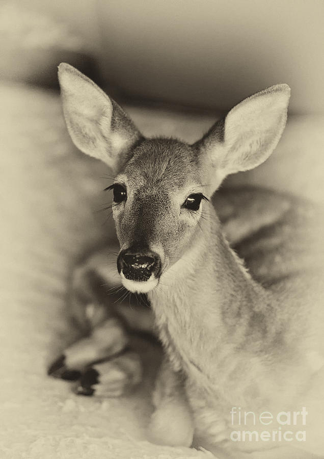 Resting Fawn Photograph