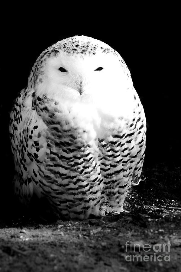 Resting Snowy Owl Photograph