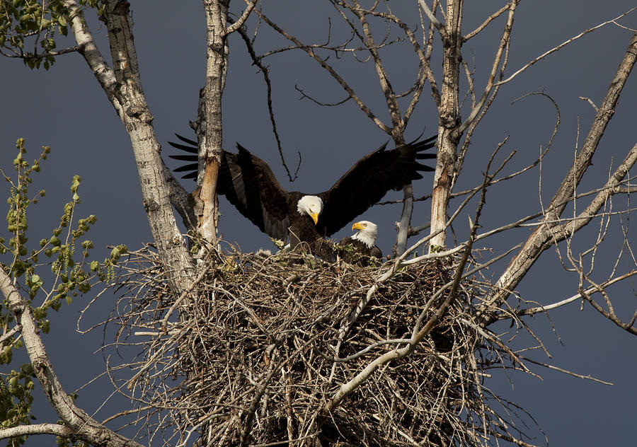 Returning Home To The Nest Photograph  - Returning Home To The Nest Fine Art Print