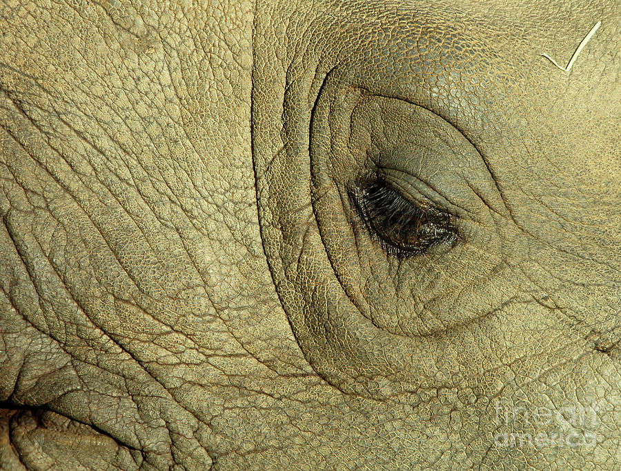 Rhino Eye Photograph