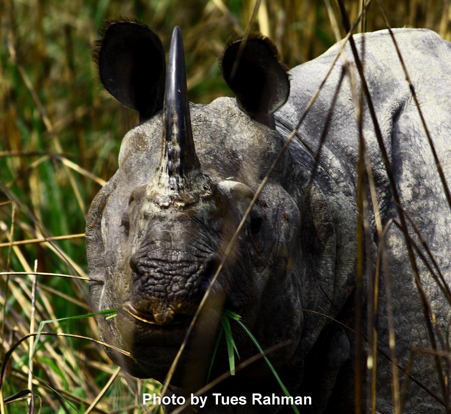 A Black One Horned Rhino At Kaziranga National Park Photograph - Rhino by Tues Rahman