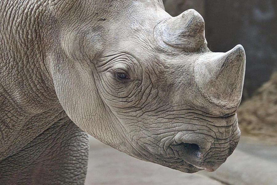 Rhinoceros Photograph