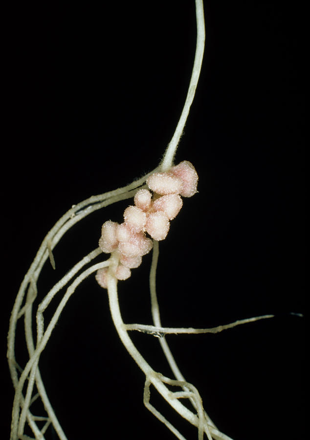 Rhizobium Leguminosarum Root Nodules Photograph