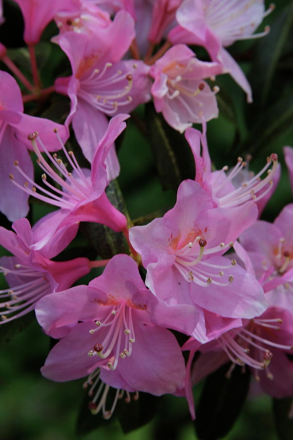 Rhododendron In The Pink Photograph