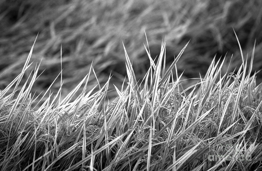 Rice Field Japan Photograph  - Rice Field Japan Fine Art Print