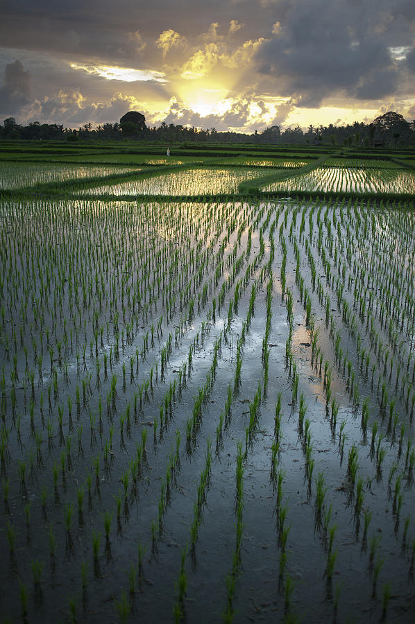 Rice Fields, Near Ubud Bali, Indonesia Photograph