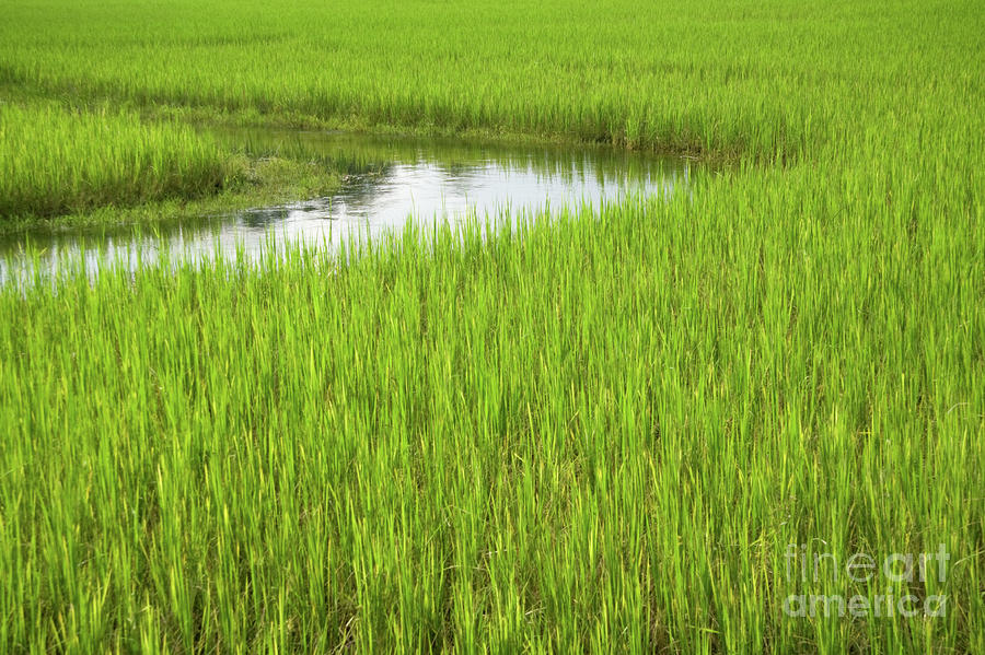 Rice Paddy Field In Siem Reap Cambodia Photograph  - Rice Paddy Field In Siem Reap Cambodia Fine Art Print