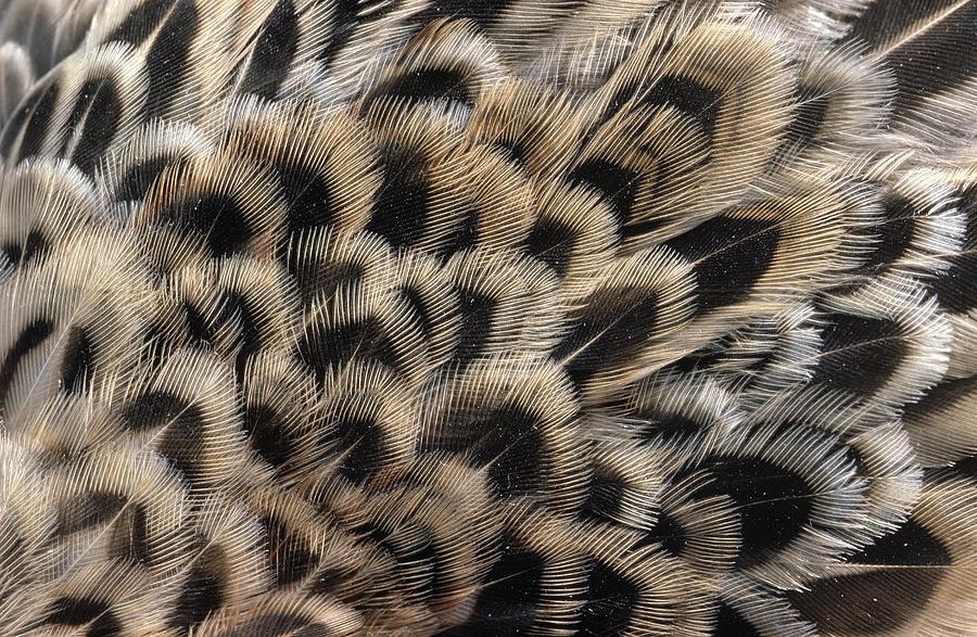 Ring-necked Pheasant Phasianus Photograph
